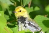 Paruline à gorge noire (Black-throated green warbler)