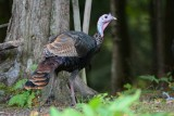 Dindon sauvage (Wild turkey)