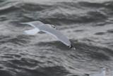 Goéland cendré (Common gull)
