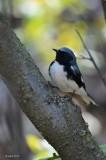 Paruline bleue (Black-throated blue warbler)