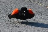 Carouge à épaulettes (Red-winged blackbird)