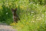 Coyote jeune (Coyote)