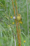 Paruline jaune, jeune (Yellow warbler)