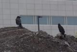 Grand corbeau (Raven)