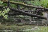 Canard Branchu (Wood duck)