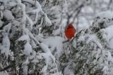 Cardinal rouge (Northern cardinal)