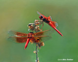 Dragonfly gallery