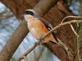 Bay-backed Shrike   Goa