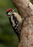 Great Spotted Woodpecker      Wales