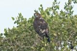 Banded Snake Eagle