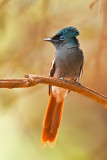 African Paradise Flycatcher  Segala Lodge