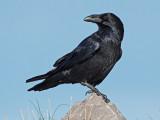 Raven Llandudno