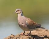Turtle Dove  Hungary