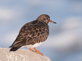 Turnstone (Ruddy)