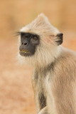 Grey Tufted Langur