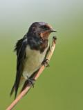Barn Swallow   Waikkal,Sri Lanka