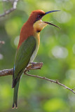 Chestnut Headed Bee-eater  Yala NP,Sri Lanka