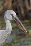 Asian Openbill Stork     Sri Lanka