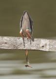 Striated (Green) Heron