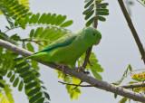 Blue Winged Parrotlet