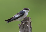 White Winged Swallow