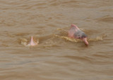 Amazon Pink River Dolphin or Boto