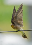 Rough Winged Swallow
