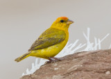 Orange Fronted Yellow-Finch