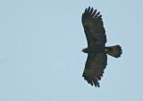 Black Eagle  Kerala