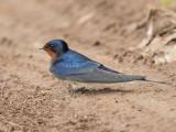 Barn Swallow   Lesvos,Greece