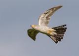 Common Cuckoo   Bulgaria