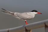 Common Tern    Lesvos,Greece