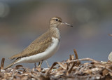 Common Sandpiper    Lesvos,Greece