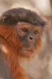 Western Red Colobus Monkey