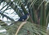 Levailliant's Cuckoo