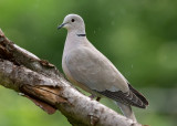 Collard Dove   Bulgaria