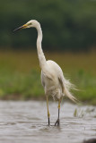 Great White Egret  Hortobagy,Hungary