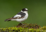 Collared Flycatcher    Hungary