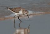 Little Stint  Goa