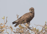 Brown Snake Eagle   Gambia