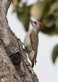 African Grey Woodpecker
