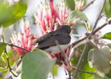 Western Violet-backed Sunbird