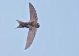 Pallid Swift   Bulgaria