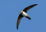 Alpine Swift   Bulgaria