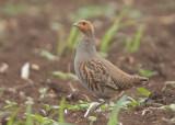 Grey Partridge   Bulgaria