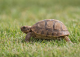 Spur-thighed Tortoise (Common Tortoise)