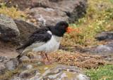 Oystercatcher  Isle of May,Scotland