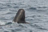 Short Finned Pilot Whale