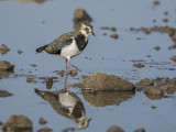 Lapwing     Conwy RSPB