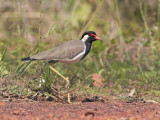 Red-wattled Lapwing   Sri Lanka